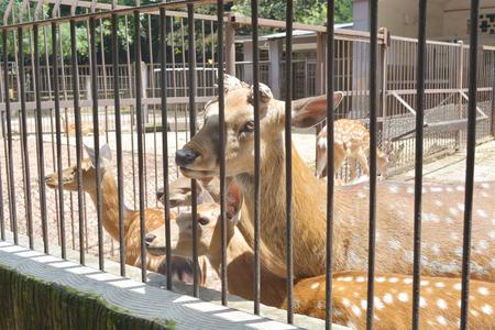 sika deer: sika deer lat. Cervus nippon enclosed in railing at zoo Stock Photo