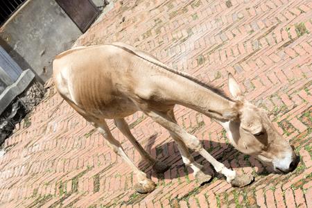 somali: Somali wild ass Equus africanus somaliensis. Wildlife animal.