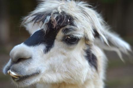 alpaca: Alpaca head portrait Stock Photo