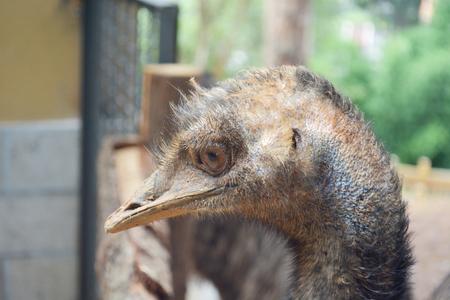 ostrich: Retrato de la avestruz