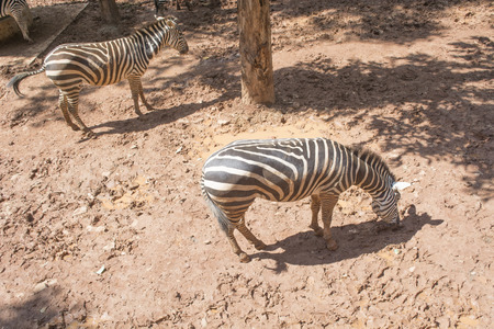 burchell: Zebras in the zoo