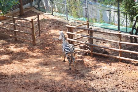 railing: Zebra in wooden railing