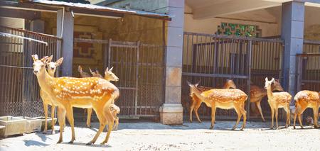 cervus: sika deer cervus nippon--people called spotted deer Stock Photo