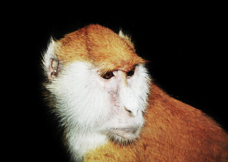 hussar: Erythrocebus patas monkey isolated in black background