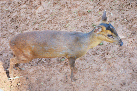 View of a mousedeer