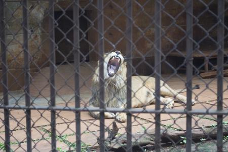 大籠子裡的一隻獅子。 版權商用圖片