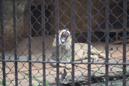 A lion in the large cage.