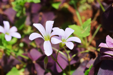 creeping woodsorrel: flower blossom Stock Photo