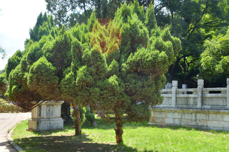 thuja occidentalis: Cypress in chinese park