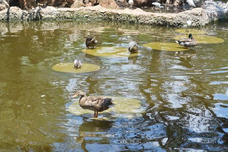 鴨子池塘 版權商用圖片