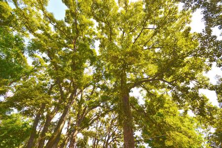 一棵大樹的低角度視圖 版權商用圖片