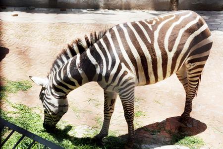 herbivore natural: zebra in the zoo