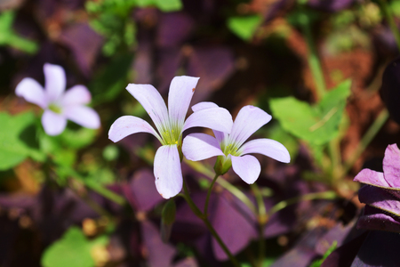 creeping woodsorrel: Oxalis comiculata flower in dark background Stock Photo