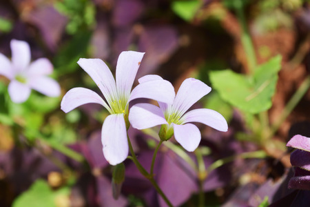 creeping woodsorrel: Oxalis comiculata in dark background