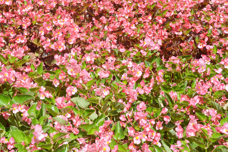 rampant: Bunches of white and pink flowering Begonia semperflorens clumps in flowerbed Stock Photo