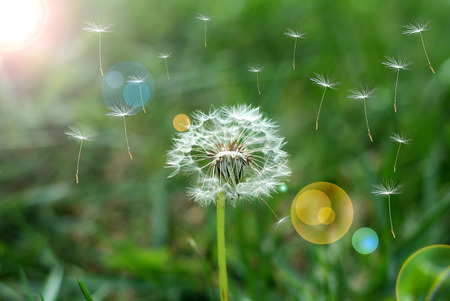 seed: Dandelion dispersing seed Stock Photo