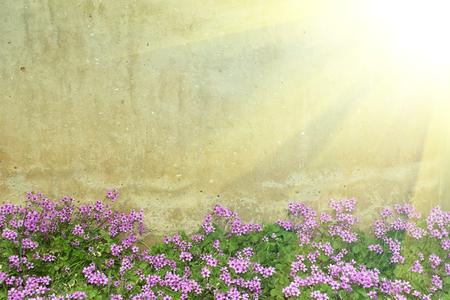 Oxalis花牆