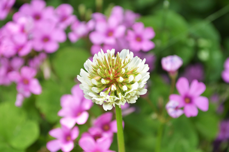 repens: White Clover Flowers - Trifolium repens