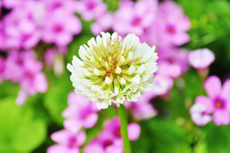 trifolium repens: White Clover Flowers - Trifolium repens