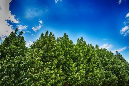 在藍藍的天空下的Platanus樹 版權商用圖片