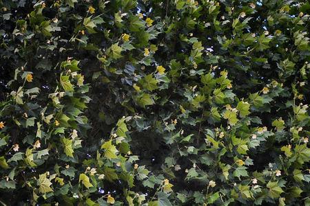 Platanus樹關閉視圖