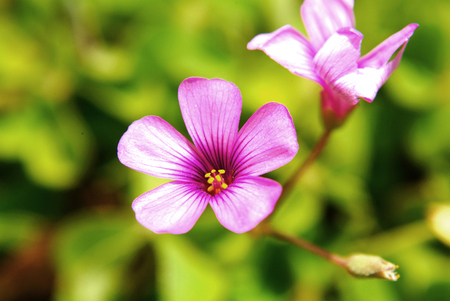 creeping woodsorrel: Oxalis corymbosa  flower