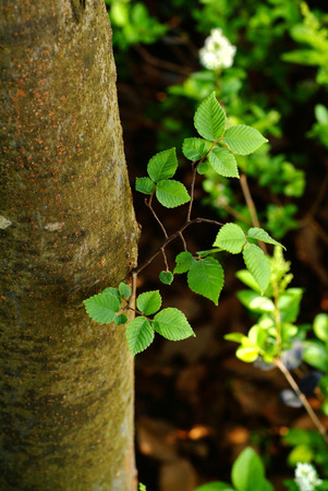 blacktop: Melia azedarach L. tree leaf close up view