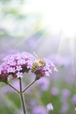 animal origin: Close up view of a bee on tiny purple flowers Stock Photo