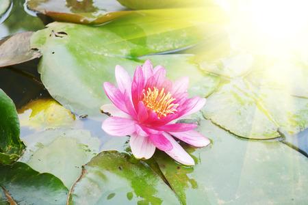 lotus flower in a pond 版權商用圖片 - 81698280
