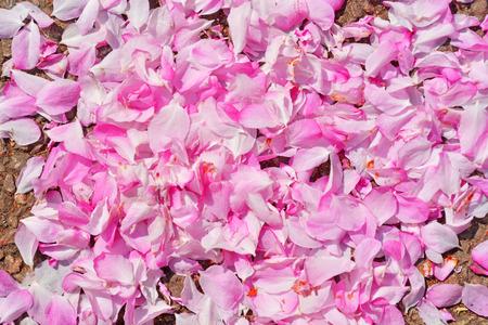 in full bloom: cherry petal