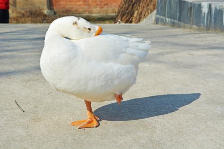 白鵝 版權商用圖片 - 71617095