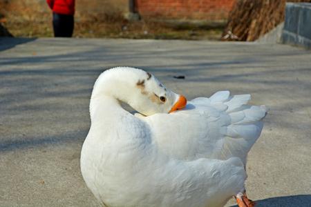 白鵝 版權商用圖片 - 71617096