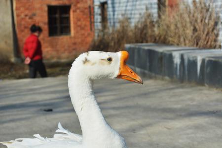 白鵝 版權商用圖片 - 71617098