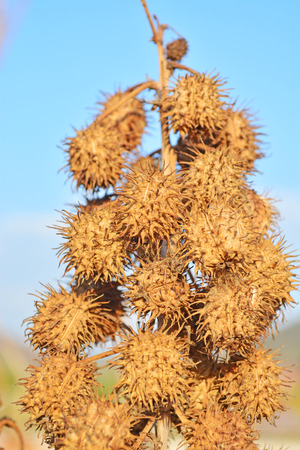 seedpod: Datura Jimson Weed seedpod Dry in a nature reserve in South Africa
