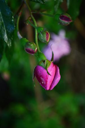 single rose bud Stock Photo
