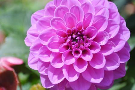 tuberous: Dahlia pinnata Cav. flower