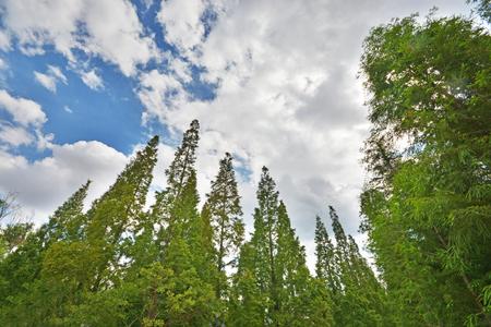 cedar under blue sky