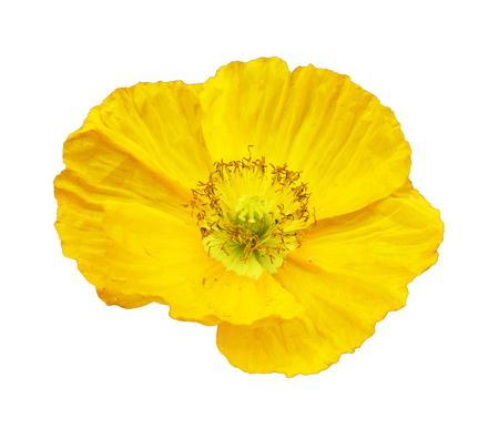 corn flower: corn flower isolated