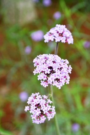 lamiales: Verbena officinalis L.