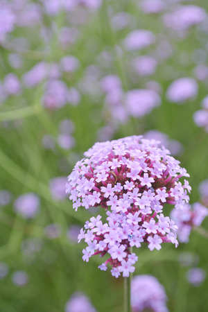 Flower Latin name Verbena, officinalis L Red Standard-Bild