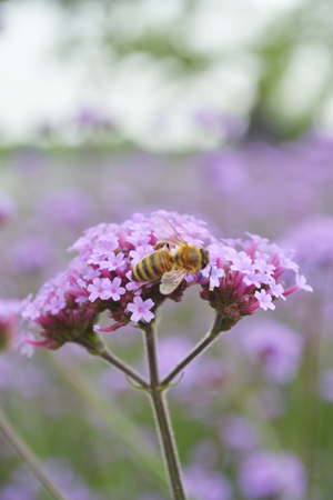Flower Latin name Verbena, officinalis L Red Zdjęcie Seryjne