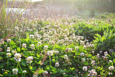 trifolium repens: trifolium repens shamrock white clover
