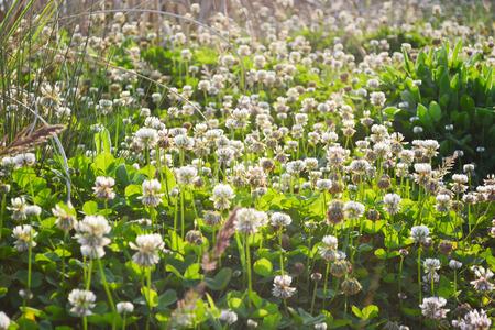 trifolium: trifolium repens shamrock white clover