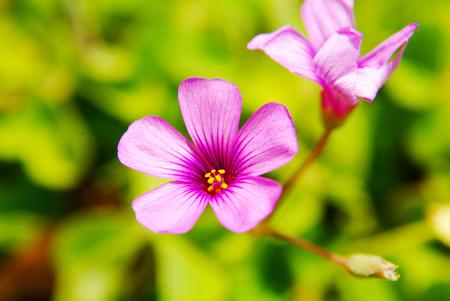 oxalis corniculata linn: Closeup Pink oxalis oxalis corymbosa in garden