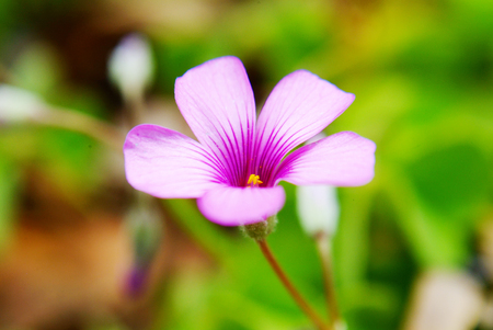 Close up to pink Oxalis corymbosa Stock Photo
