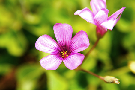 creeping woodsorrel: Close up to pink Oxalis corymbosa Stock Photo