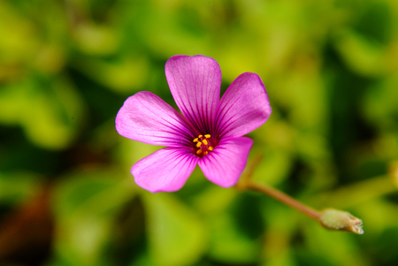 oxalis: Pink oxalis in garden