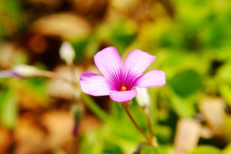 creeping plant: oxalis flower