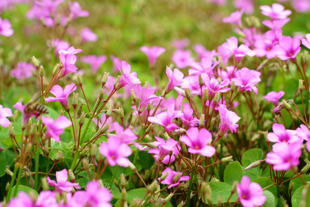 creeping woodsorrel: Pink oxalis in garden