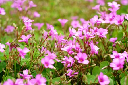 creeping woodsorrel: Pink oxalis in garden